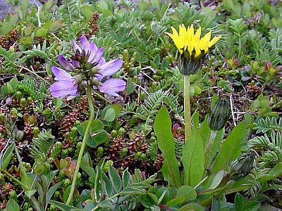 Robbins' Milkvetch and Horned Dandelion - Battery Trail - Red Cliffs - east of L'Anse-au-Loup - Labrador Straits